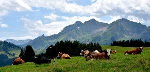 Parrainage de vaches et table d'hôte à la Lécherette